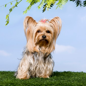 Yorkshire terrier che si siede sull'erba contro il cielo blu