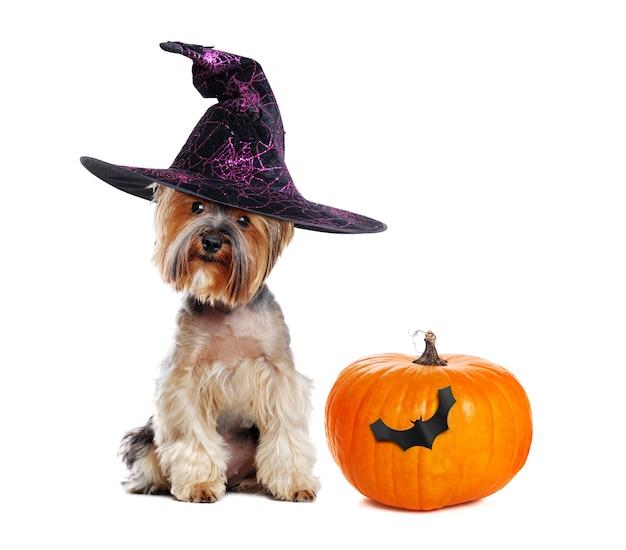 Yorkshire terrier con una zucca
