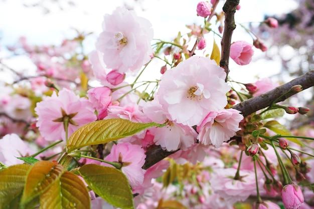 Yoshino cherry in fiore in primavera