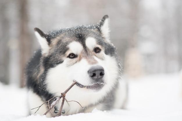 Giovane alaskan malamute sdraiato e giocando con il bastone nella neve