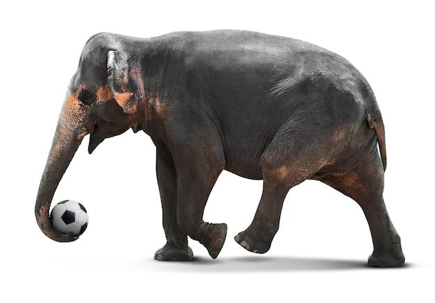 Giovane elefante asiatico che gioca pallone da calcio isolato su bianco con il percorso di residuo della potatura meccanica