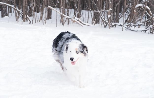 Giovane pastore australiano merle con gli occhi azzurri che corrono nella foresta di inverno. cane nella neve.