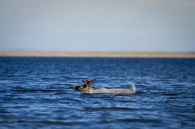 Giovani caribù sterile, rangifer tarandus groenlandicus, nuotare attraverso l'acqua