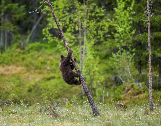Giovane orso in una foresta tra gli alberi