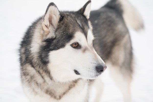 Cane giovane bello alaskan malamute con gli occhi marroni nella neve
