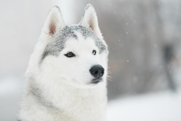 Giovane bello husky siberiano nevoso in inverno