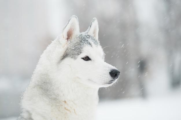 Giovane bello husky siberiano nevoso con occhi di diversi colori in inverno