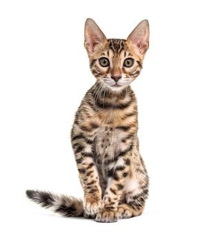 Giovane gatto bengala che fissa, isolato su bianco