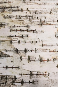 Struttura della corteccia di albero di betulla giovane