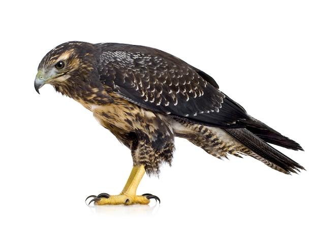 Giovane melanoleucus del geranoaetus del buzzard-eagle dal petto nero nella parte anteriore su un bianco isolato