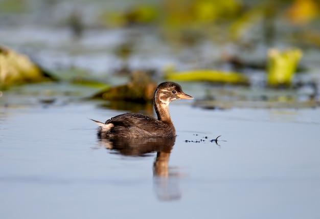 Un giovane svasso dal collo nero (podiceps nigricollis) nuota nelle acque blu del lago
