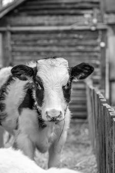 Giovane vitello maculato bianco e nero in un inseguimento all'aria aperta. la mucca guarda nella telecamera