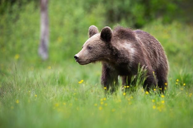 Giovane orso bruno che guarda da parte su una radura verde con spazio di copia
