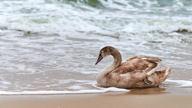Giovane cigno bianco colorato di marrone che si siede sulla sabbia dalle acque blu del mar baltico. chiudere l'immagine ad alta risoluzione del pulcino di cigno a riposo con piume marroni
