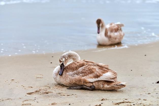 Giovane cigno bianco di colore marrone seduto sulla sabbia dalle acque blu del mar baltico