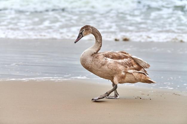 Giovane cigno bianco colorato di marrone che cammina dalle acque blu del mar baltico. chiudere l'immagine ad alta risoluzione del pulcino di cigno con piume marroni