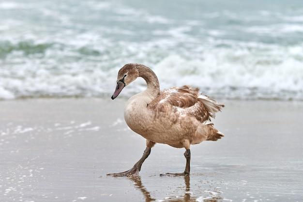 Giovane cigno bianco colorato di marrone che cammina dalle acque blu del mar baltico