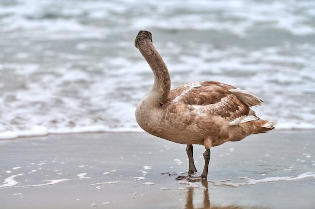 Giovane cigno bianco di colore marrone che cammina dalle acque blu del mar baltico