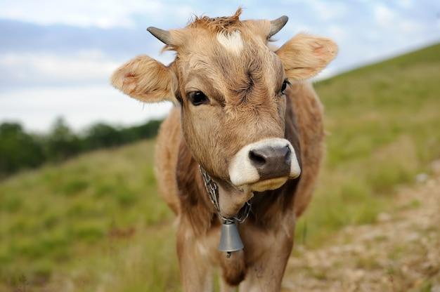 Giovane mucca marrone nel prato estivo