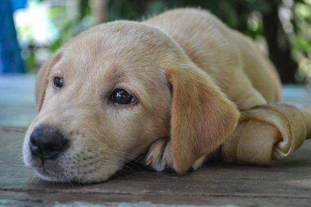 Il giovane cane marrone ignora l'osso della pelle grezza. cane con osso di cuoio