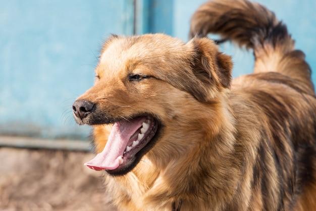 Un giovane cane marrone con la bocca aperta in tempo soleggiato