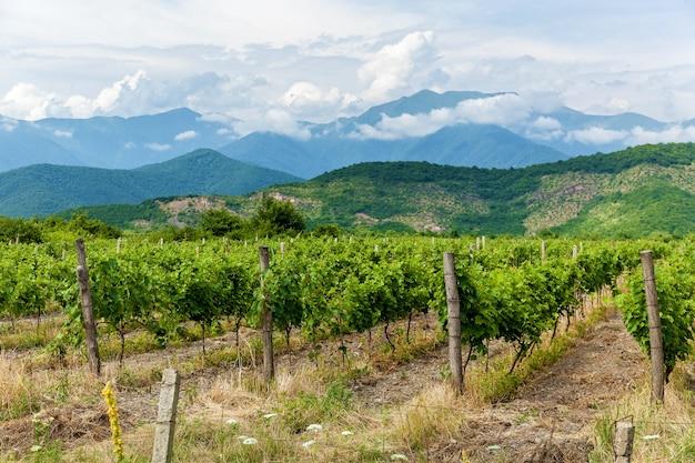 Giovani cespugli di uva nella regione vinicola di kakheti, valle alazani. georgia.vineyards è