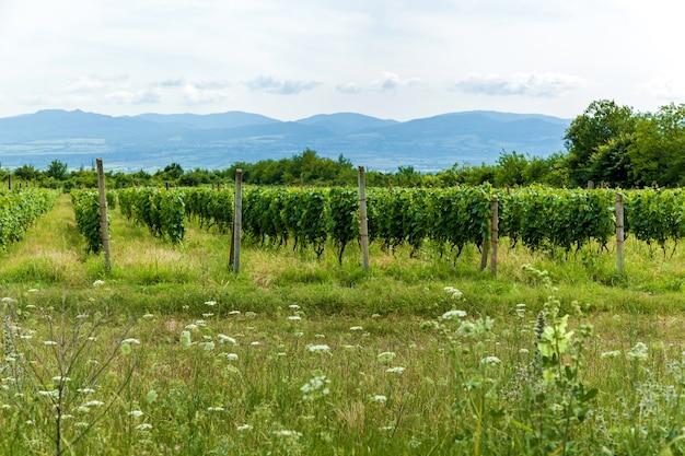 Giovani cespugli di uva nella regione vinicola di kakheti, valle alazani. georgia.vigneti