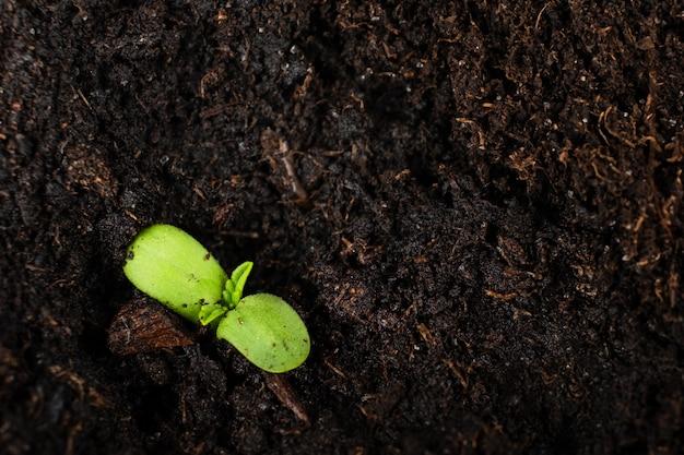Giovane pianta di cannabis con copia spazio, cotiledoni di marijuana verde strisciano fuori dal terreno.
