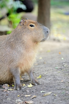 Capibara giovane. nome latino - hydrochoerus hydrochaeris
