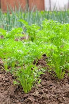 Le giovani carote crescono in giardino su aiuole.