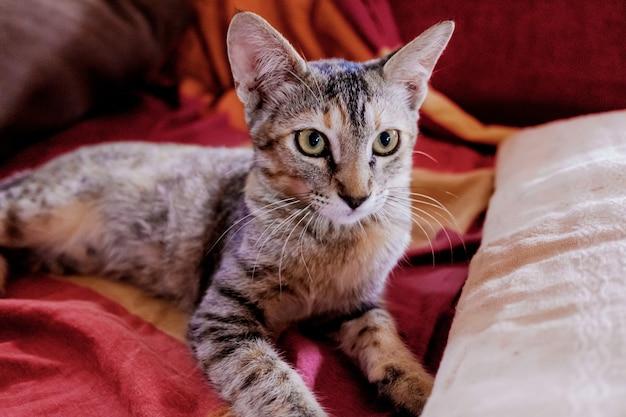 Un giovane gatto osserva seduto sul divano di casa.
