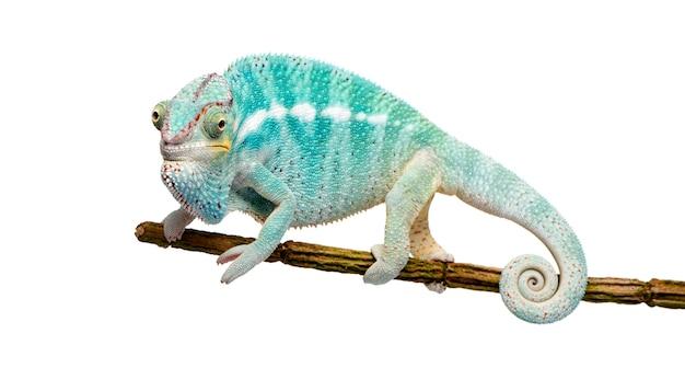 Young chameleon furcifer pardalis - ankify su un bianco isolato