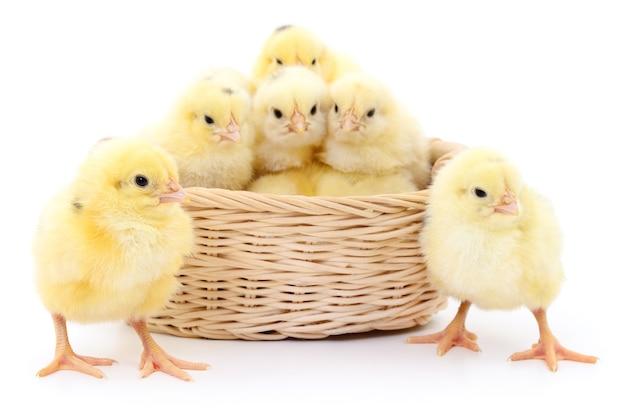 Giovani polli nel cestino isolato