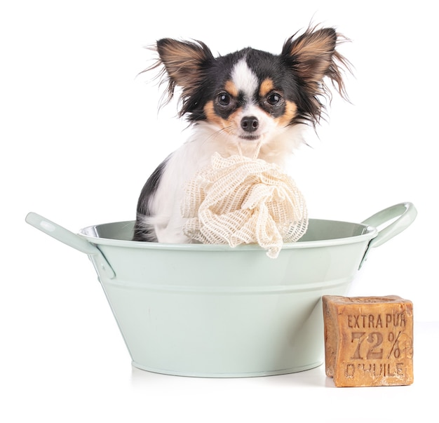 Giovane chihuahua in una bacinella verde con un sapone con scritta olio extra puro 72%