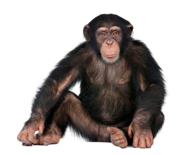 Giovane scimpanzé davanti a sfondo bianco
