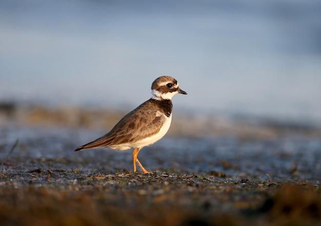 Il giovane comune inanellato piviere o piviere inanellato charadrius hiaticula è filmato nella morbida luce del mattino sulla riva di un estuario salato