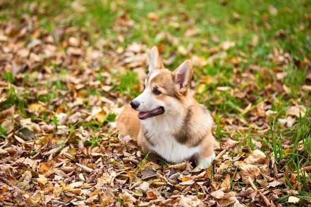 Un giovane cane corgi cammina con il suo proprietario in un parco autunnale