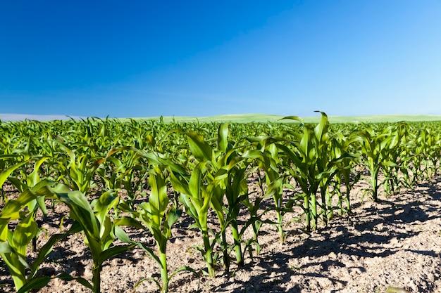 I giovani germogli di mais nella stagione primaverile, il mais verde in campo agricolo, i chicchi di mais sono utilizzati sia per la cottura dei cibi che per la produzione industriale di biocombustibile ecologico-bioetanolo