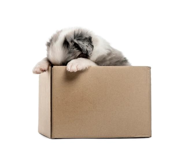 Giovane cucciolo dell'incrocio che esce da una scatola isolata su bianco