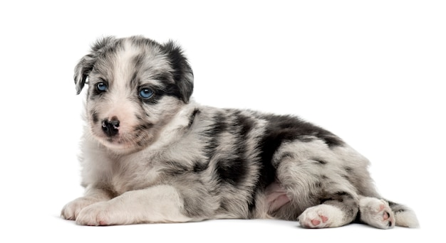 Giovane cucciolo incrocio sdraiato isolato su bianco