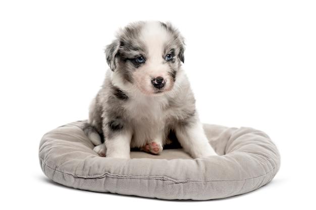 Cucciolo dell'incrocio giovane che si siede in una culla isolata su bianco
