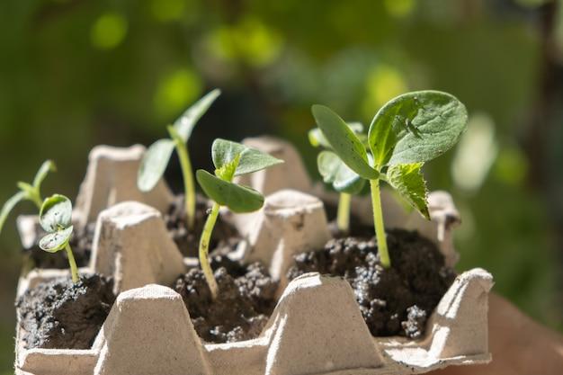 Giovani piantine di cetriolo piantate in scatola da sotto le uova.
