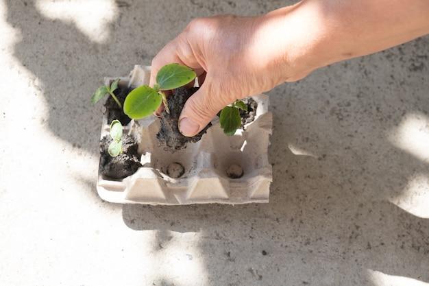 Giovani piantine di cetriolo piantate in scatola di uova di gallina.
