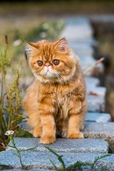 Ritratto di giovane gatto persiano rosso carino che cammina nel parco
