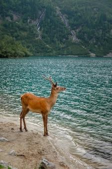 Giovane cervo beve l'acqua in un lago di montagna, parco nazionale degli alti tatra, polonia