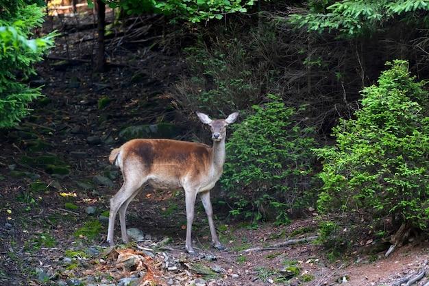 Giovane cervo in piedi ai margini del bosco