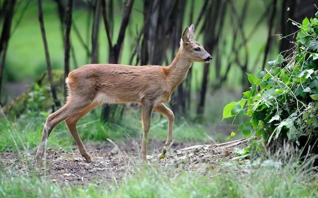 Giovane cervo nella foresta estiva