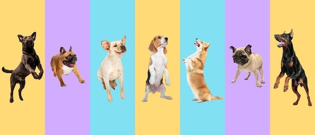 Gli animali domestici dei cani giovani che saltano in alto volano i cani o gli animali domestici carini sembrano felici isolati