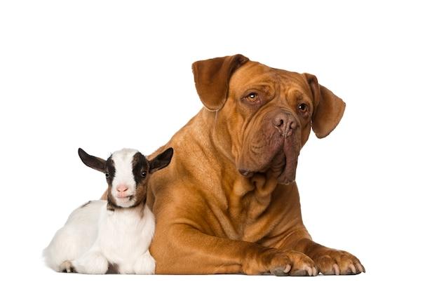 Giovane capra domestica e un dogue de bordeaux