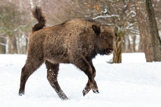 Giovane bisonte europeo in esecuzione sulla neve nella foresta di inverno